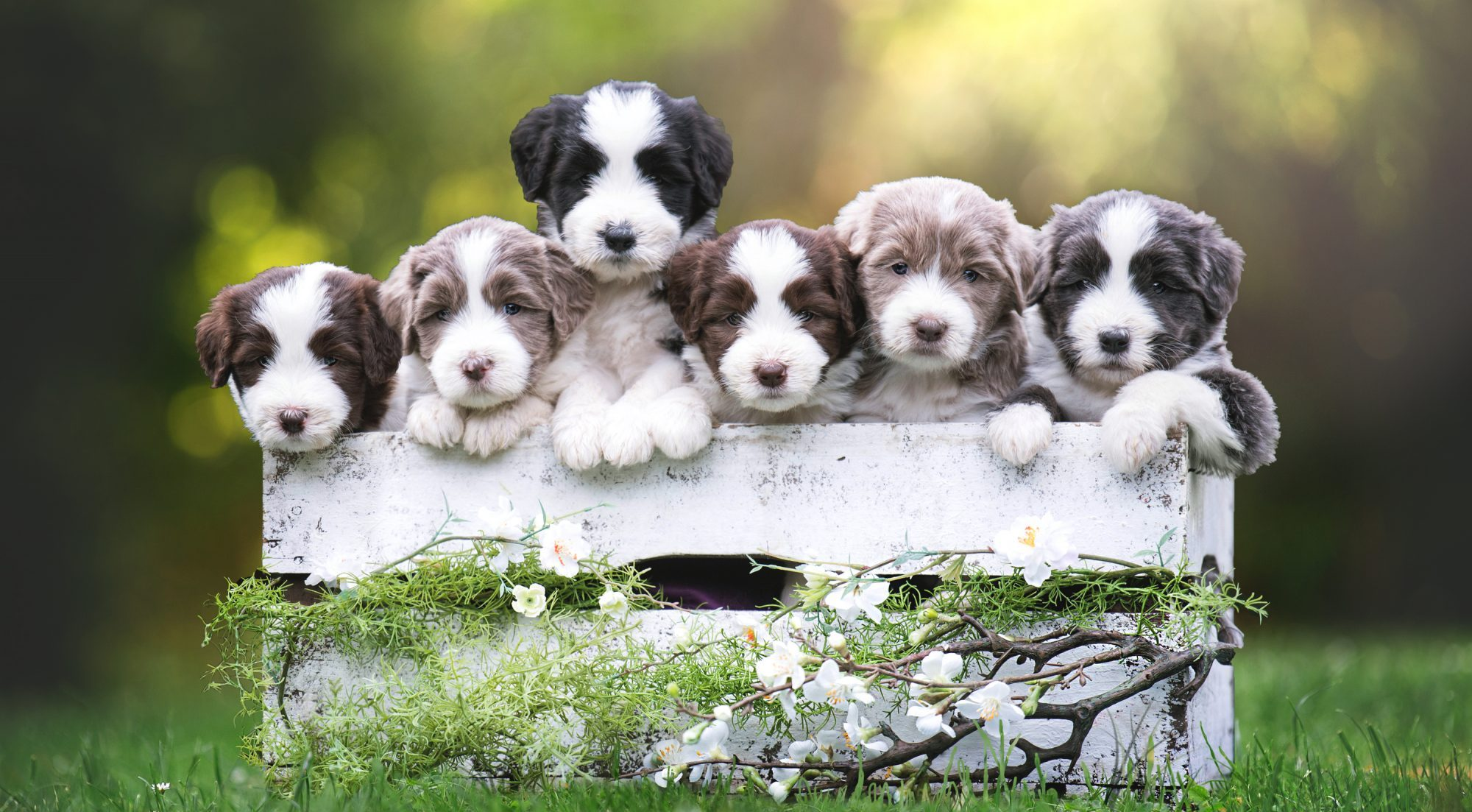 A Heart full of Soul´s Bearded Collies